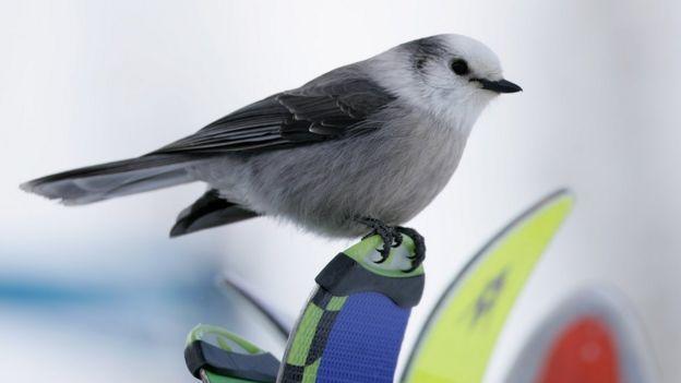 Canadas New National Bird Is The Gray Jay Bbc News