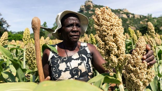 Angeline Kadiki, an elderly who is a sorghum farmer, inspects her small grains crop thriving in the dry conditions on March 14 2019, in the Mutoko rural area of Zimbabwe