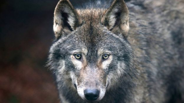 Stock photo of European wolf