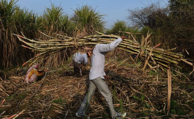 An Indian farmer carries sugarcane to load on a tractor to sell it at a nearby sugar mill in Modinagar in Ghaziabad, some 45km east of New Delhi, on January 31, 2018