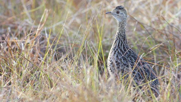 Tinamiformes são um grupo moderno de parentes voadores dos avestruzes
