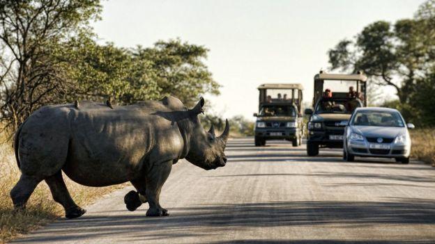 Rhinoceros crosses road inside Kruger National Park, South Africa on June 13, 2010