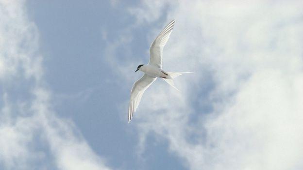 Roseate chicks' flight marks 'mighty comeback' - BBC News