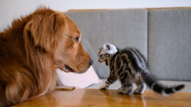 Животные, такие как кошки, используют это рефлекс, чтобы казаться крупнее