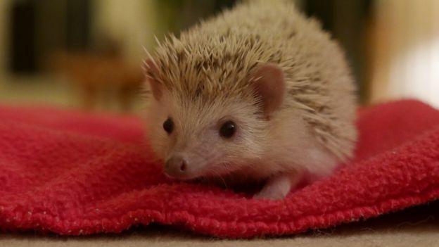57fd560d513d Should we keep pygmy hedgehogs as pets? - BBC News