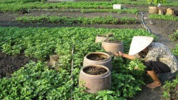 Trong thời gian chờ đợi chính quyền giải quyết, người dân Vườn rau Lộc Hưng vẫn tiếp tục canh tác.