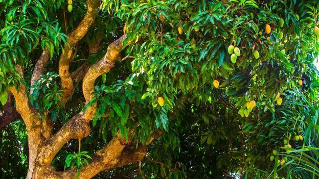 انبههای رسیده بر شاخههای درخت انبه