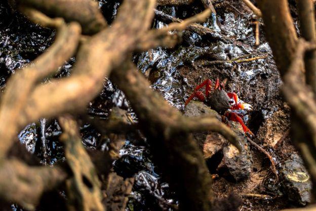 Caranguejo em mangue repleto de lama