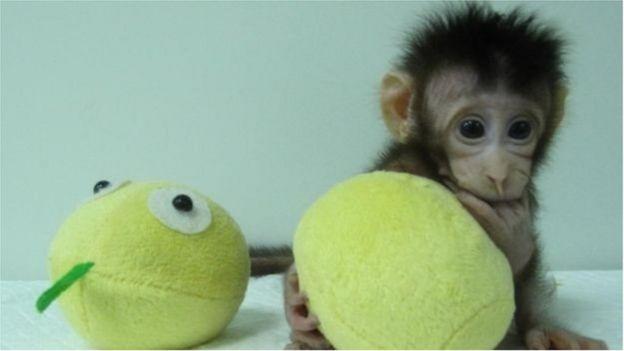 القرد المستنسخ هوا هوا