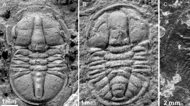 فسیل دو تریلوبیت از خانواده بندپایان که در این محوطه کشف شد