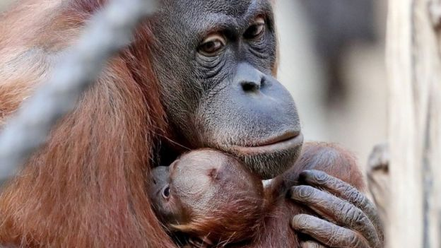 close up of orangutan and child