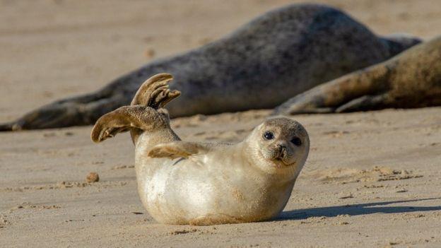 Uma foca filhote na areia no Reino Unido