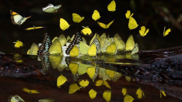 sarı kelebekler