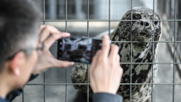 A man takes photos of a spotted seal to be released back into the wild on 11 April, 2019 in Dalian, China