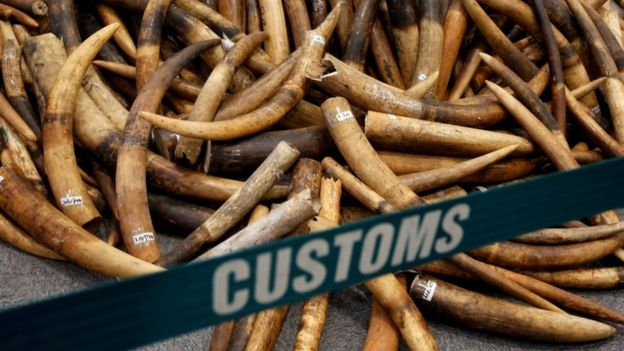 Ivory tusks seized by Hong Kong Customs are displayed at a July 2017 news conference