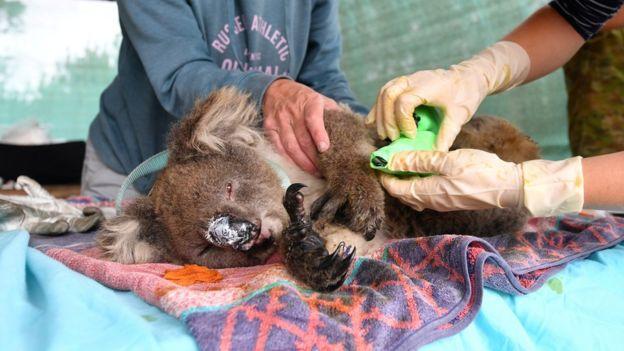 Volunteers treat a Koala on Kangaroo Island