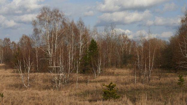 Derechos de autor de la imagen GETTY IMAGES/Image caption / Los árboles se volvieron rojos luego de envenenarse con radiación.
