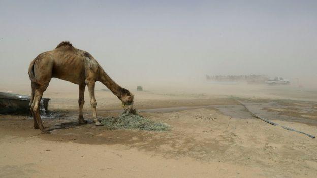 Suudi Arabistan Katar Sınırda deve leşi