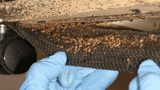 Bedbugs survived the dinosaur extinction event - BBC News