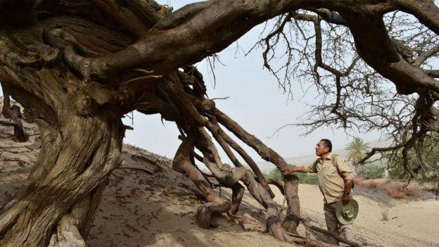 Félix Quinteros junto a un árbol milenario de huarango, Prosopis pallida.