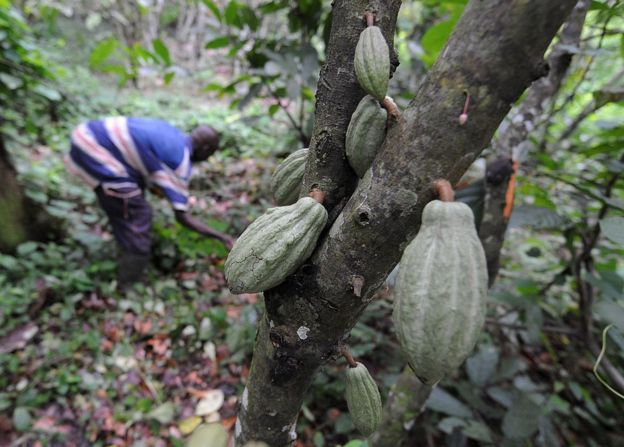 A cocoa farmer maintains his plantation near Divo, in the south of Ivory Coast.