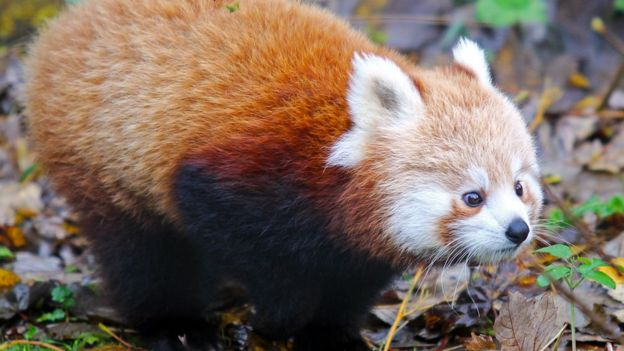 Image of: Nepal Red Panda Bbc Belfast Zoo Celebrates Birth Of Endangered Red Pandas Bbc News