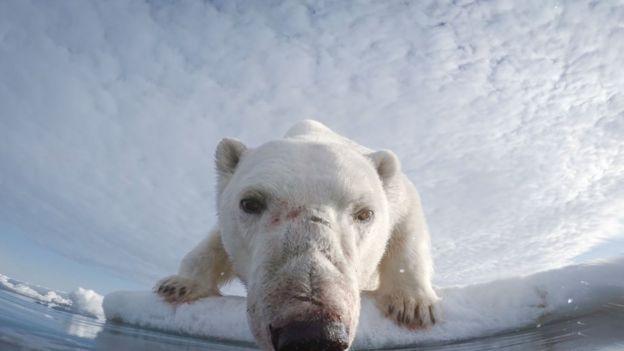 Медведь плывёт на льдине