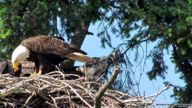 Bald eagles adopt 'mortal enemy' baby red-tailed hawk - BBC News