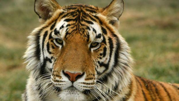 Tigre en Colorado, Estados Unidos