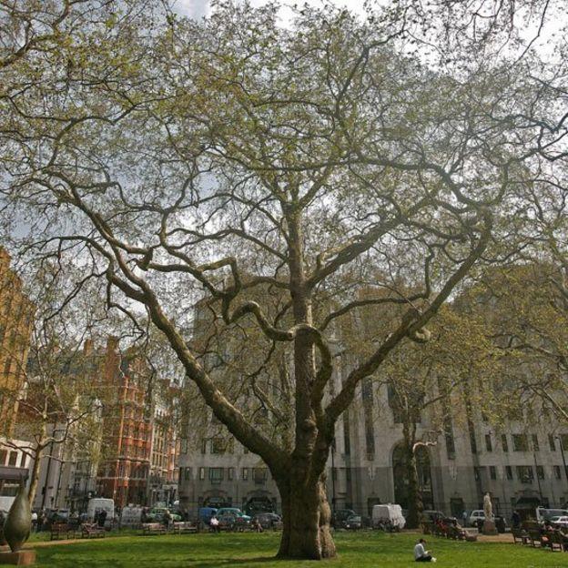Plátano alto y venerable, Platanus x acerifolia, en la plaza Berkeley Square