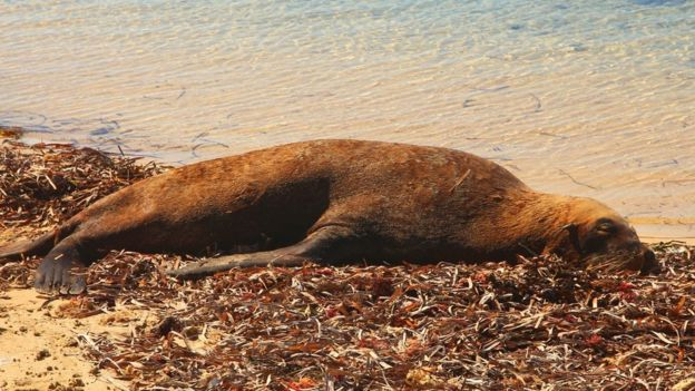 Seal lying on the coast of Western Australia.