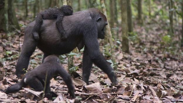 Imagem mostra gorila fêmea com filhote sobre as costas e outro caminhando ao seu lado