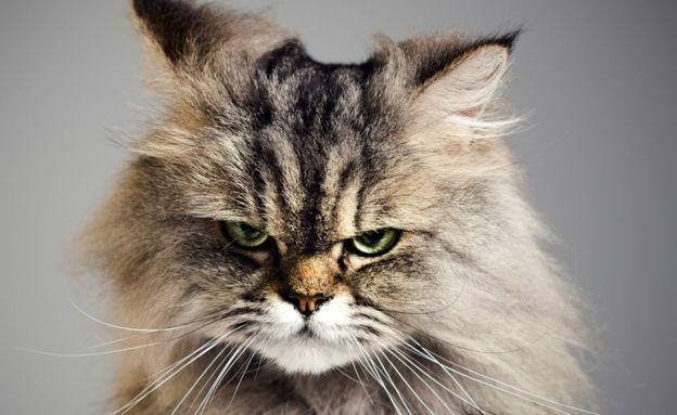 Зла кішка