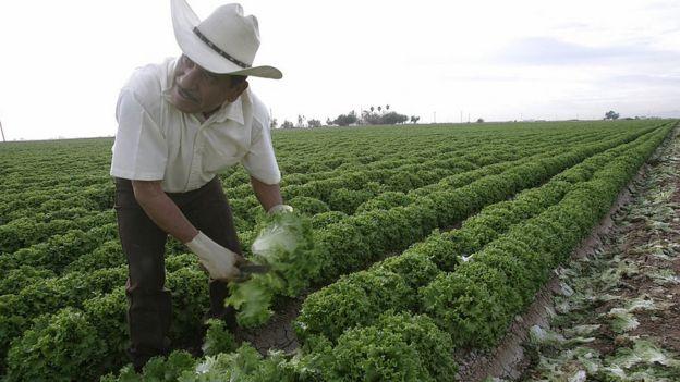 Trabajador mexicano en un campo de lechugas en Estados Unidos.