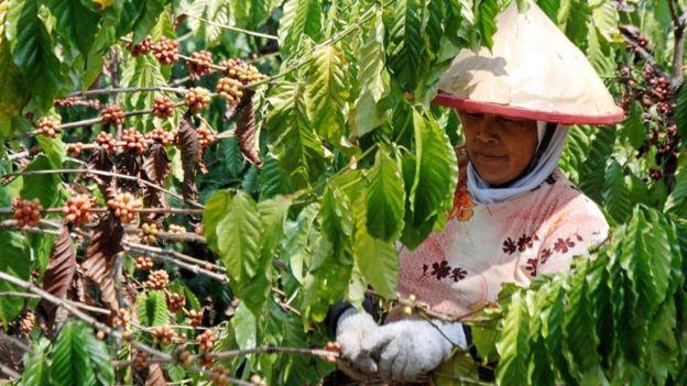 Um trabalhador escolhe cerejas de café de uma planta de café