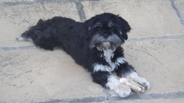 female, black-and-white-coloured Lhasa apso