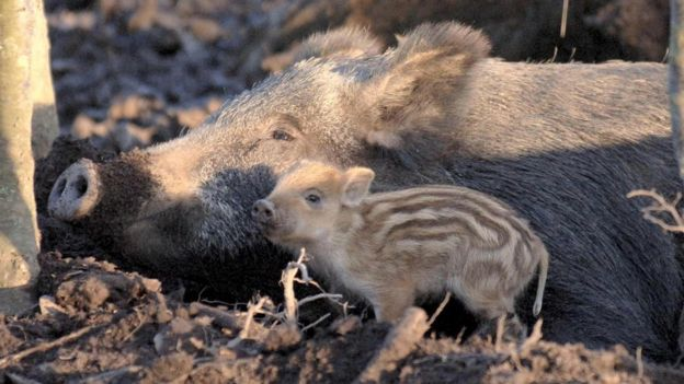 A wild boar mother with her piglet