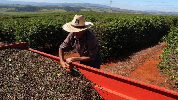Homem com chapéu manipula café em grande contêiner no meio de plantação