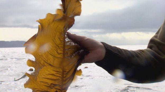 Trial of seaweed farm under way near Oban - BBC News