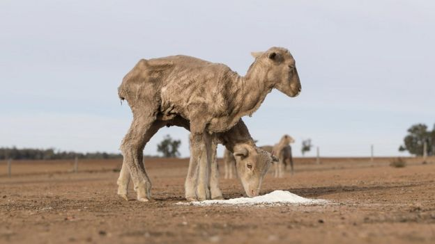 Skinny sheep feed on a parched farm in New South Wales