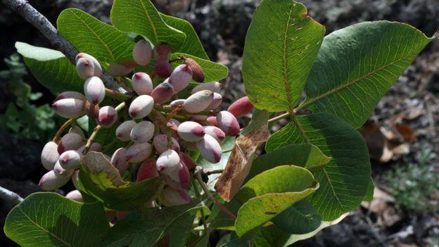 樹上的開心果