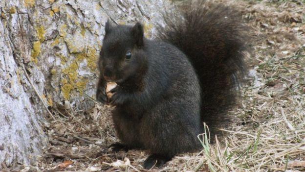 Black squirrels the result of 'interbreeding' grey squirrels