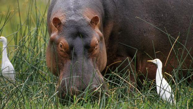 Hipopótamos en la savana