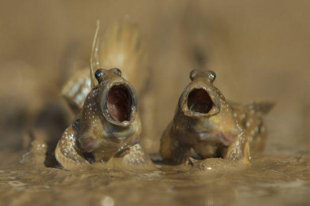 Peces anfibios. Foto: Daniel Trim.