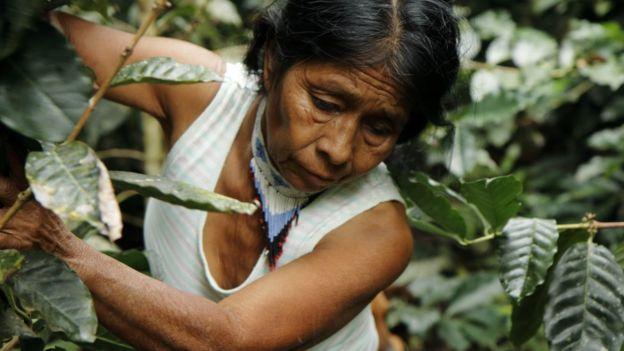 Irene Guasiruma recoge café (Foto: Natalio Cosoy/ BBC Mundo)