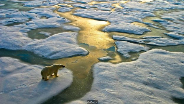 Urso polar vagando desnutrido