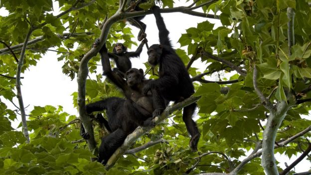 Chimpanzee family is sitting in a tree