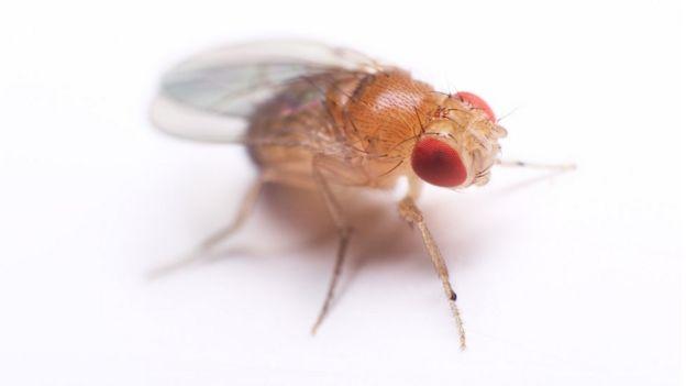 Cuanto tiempo viven los mosquitos de fruta