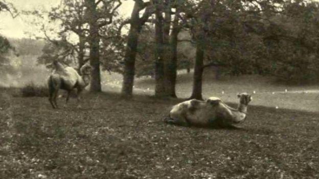 Верблюди у Антоніському парку