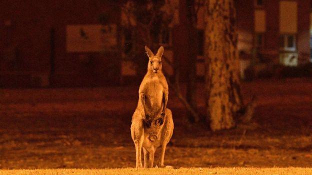 Los canguros tienen más posibilidad de escapar del fuego. Derechos de autor de la imagen AFP Image caption
